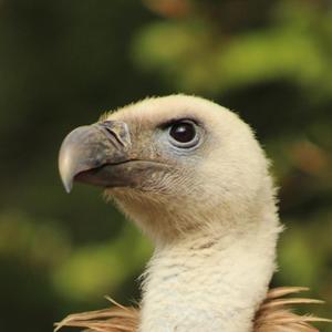 vautour aran parc