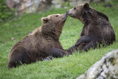 couple d'ours bruns aran park
